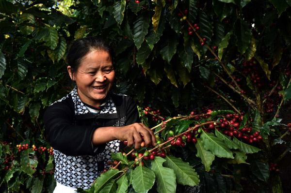 Все по-голямо количество от китайското кафе отива на вътрешния пазар.