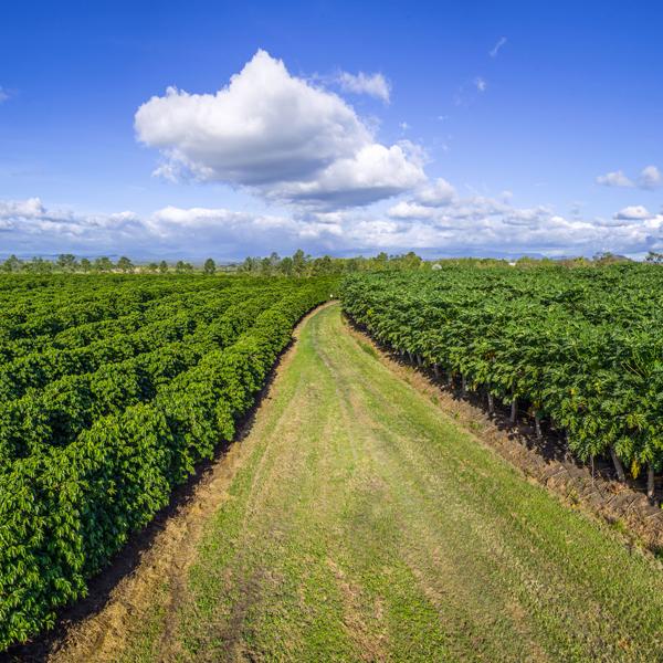 Плантациите в Австралия са стопанства, в които зърната се отглеждат, обработват, пекат и пакетират на място, готово за продажба или директен износ.