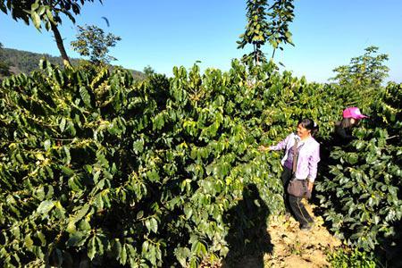 Много други села в провинцията са привлечени от износа и нарастващото национално потребление на напитката.