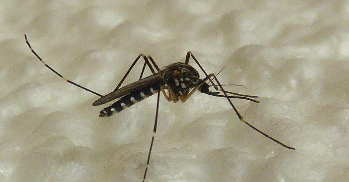 Опасен вид комари, които могат да пренасят смъртоносни болести, са